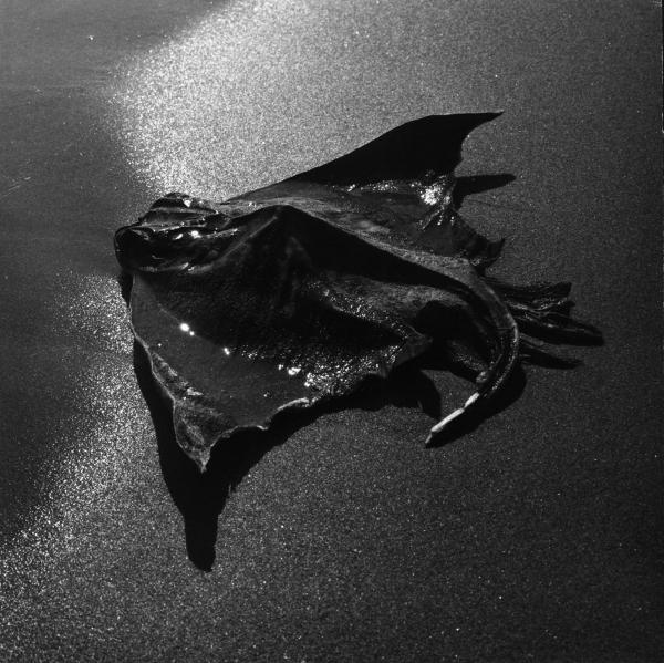 Lucien Clergue. Les premiers albums : Raie échouée (détail) Camargue, 1965 tirage vintage 49,6 x 60 cm © Atelier Lucien Clergue