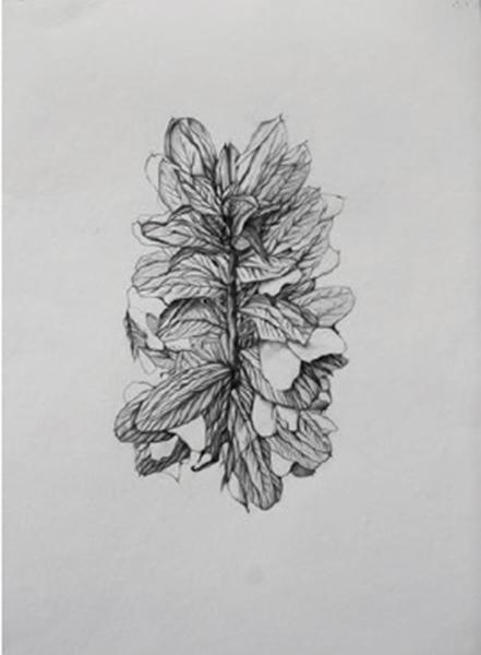 François Réau : Arcanthe. 2018  mine de plomb et graphite sur papier 62 x 42 cm.